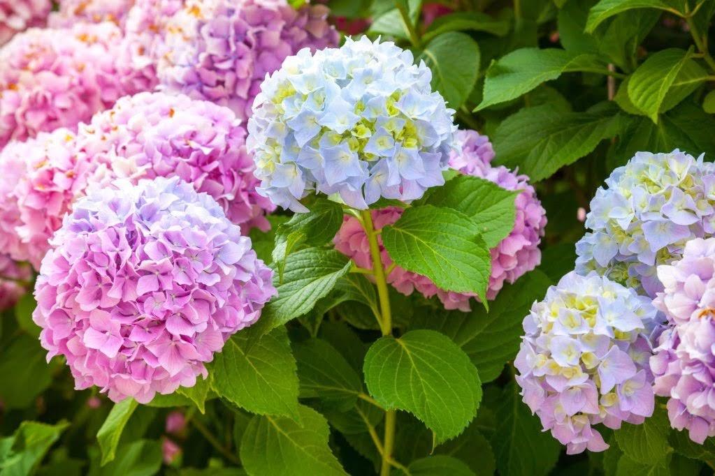 Hoa cẩm tú cầu chưng Tết Canh Tý 2020