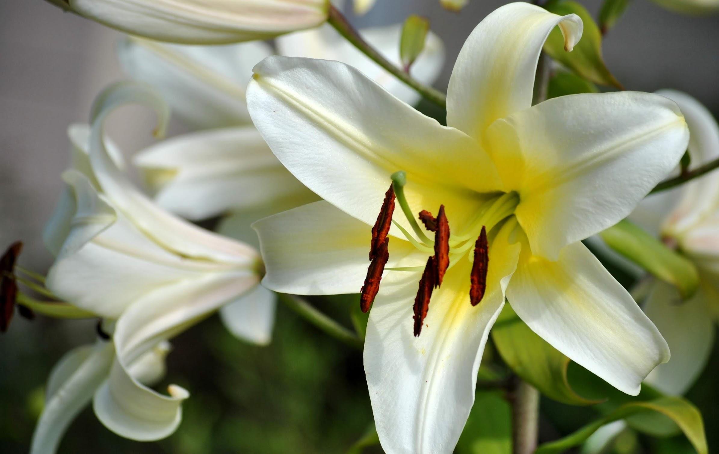 Hoa ly - hoa lily chưng Tết Canh Tý 2020