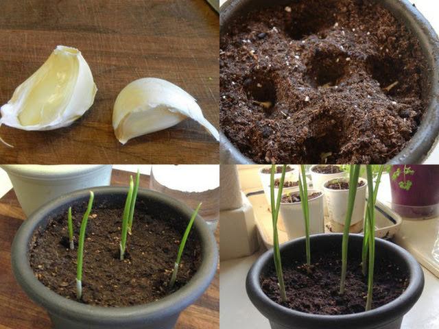 Chỉ mẹ cách trồng 5 loại gia vị, vài ngày là thu hoạch đã tay