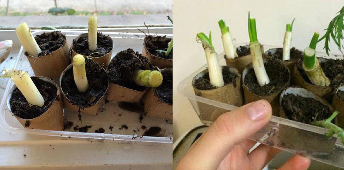 Chỉ mất 5 phút trồng hành lá vào lõi giấy vệ sinh, cả năm đỡ tốn tiền mua