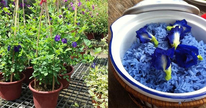 Hướng dẫn trồng hoa đậu biếc tại nhà rất dễ, vừa đẹp vừa dùng để tạo màu cho món ăn, đồ uống